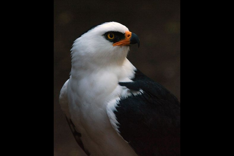 Black and White Hawk-Eagle
