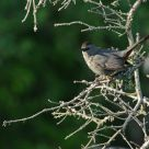 The Grey Catbird - shy but courageous