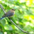 The Eastern Bluebird comeback - Part IV - female