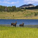 Moose strolling through Chain Lakes