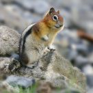 Lovely Chipmunk