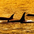 Orca's Family