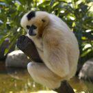 Pregnant gibbon
