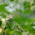Red-eyed Vireo - call of summer