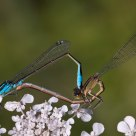 Mating Damselflies 2