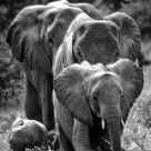 famille elephant