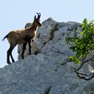 Abruzzo Chamois