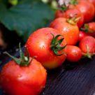 Tomatoes II