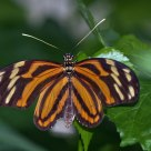 Isabella Tiger Longwing (Eueides isabella)