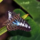 Blue Clipper (Parthenos sylvia lilacinus)