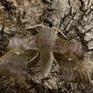Poplar Hawk moth