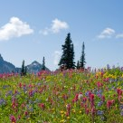 The Alpine Meadows.