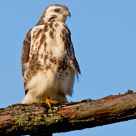 Buizerd (Buteo buteo)