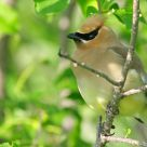 Cedar Waxwing details