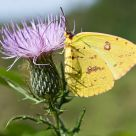 Colias philodice