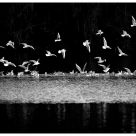 Gull dance B&W