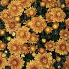 Chrysanthemums - Fall Colors