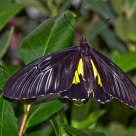 Male Common Birdwing (Troides Helena)