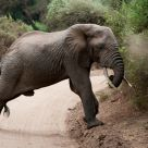 Elephant stratching