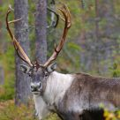 Wild reindeer