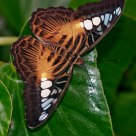 Brown Clipper (Parthenos sylvia philippensis)