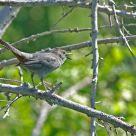 The hidden side of the ... Gray Catbird