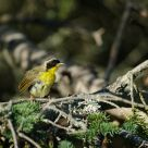 Disheveled Common Yellowthroat