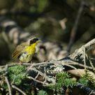 Disheveled Common Yellowthroat