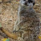P'tite frimousse lémurien