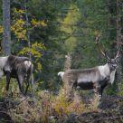 Wild reindeers
