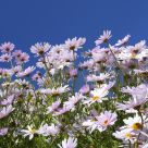 A riot of daisies
