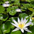 Water Lilies, Kaua'i