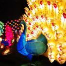Peacock Lanterns in Mid-autumn festival