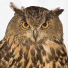 Studio owl