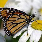 Monarchs in Ventnor