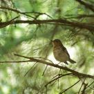 Wood Thrush canopy