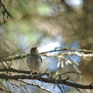 Wood Thrush in the canopy