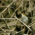 Wood Thrush and its habitat