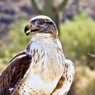 Ferruginous Hawk & Saguaro