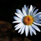 white daisy