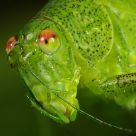 Orthoptera