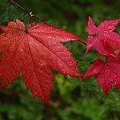 Real Red Leaf