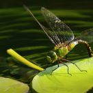 Big Green Dragonfly Laying Eggs