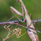Mantis & Empusa