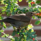 blackbird eating