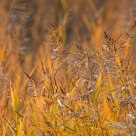 reed in autumn