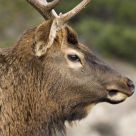 Portrait of an Elk
