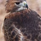 Buteo jamaicensis