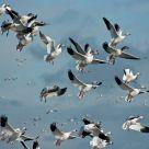 Dancing Snow Geese