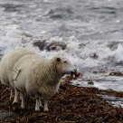 Sheeps and Seaweed